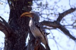 Yellow-billed Hornbill (Tockus leucomelas) Photo