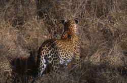 Cheetah (Acinonyx jubatus) Photo