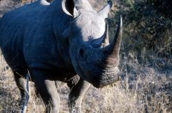 White Rhinoceros (Ceratotherium simum) Photo