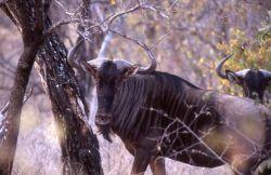 Blue Wildebeest (Connochaetes taurinus) Photo