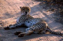 Cheetah (Acinonyx jubatus) Image