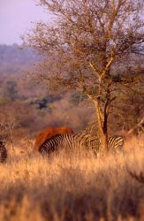 Burchell's Zebra (Equus burchellii) Photo