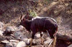 Nyala (Tragelaphus angasii) Photo