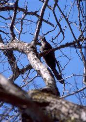 Grey Go-away Bird (Corythaixoides concolor) Photo