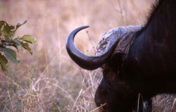 African Buffalo (Syncerus caffer) Image