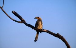 Yellow-billed Hornbill (Tockus leucomelas) Photo