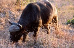 African Buffalo (Syncerus caffer) Photo