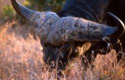 African Buffalo (Syncerus caffer) Photo