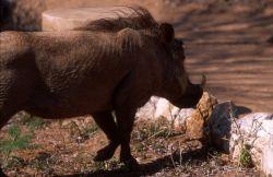 Desert Warthog (Phacochoerus aethiopicus) Photo