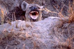 Spotted Hyena (Crocuta crocuta) Photo