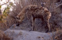 Spotted Hyena (Crocuta crocuta) Photo