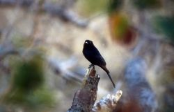 Fork-tailed Drongo (Dicrurus adsimilis) Photo