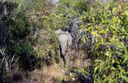 African Elephant (Loxodonta africana) Photo