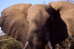 African Elephant (Loxodonta africana) Photo