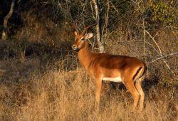Impala (Aepyceros melampus) Photo