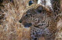 Leopard (Panthera pardus) Photo