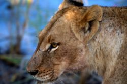 Lion (Panthera leo) Photo