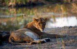 Lion (Panthera leo) Photo