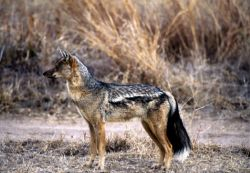 Side-striped Jackal (Canis adustus) Photo