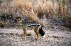 Side-striped Jackal (Canis adustus) Photo