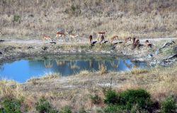 Impala (Aepyceros melampus) Image