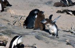 African Penguin (Spheniscus demersus) Image
