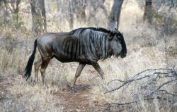 Blue Wildebeest (Connochaetes taurinus) Photo