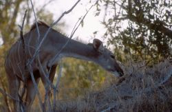 Greater Kudu (Tragelaphus strepsiceros) Photo