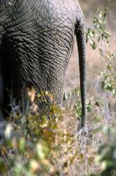 African Elephant Tail (Loxodonta africana) Image