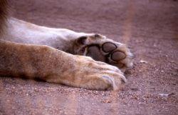 Lion Paws (Panthera leo) Photo