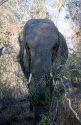African Elephant (Loxodonta africana) Image