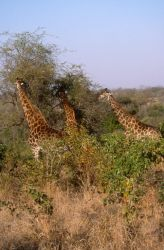 Giraffe (Giraffa camelopardalis) Photo