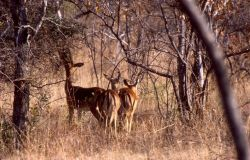 Impala (Aepyceros melampus) Photo
