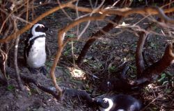 African Penguin (Spheniscus demersus) Photo