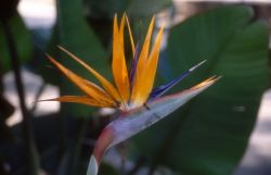 Bird of Paradise (Strelitzia reginae) Photo