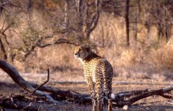 Cheetah (Acinonyx jubatus) Photo