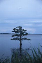Bald Cypress Tree (Taxodium distichum) Photo