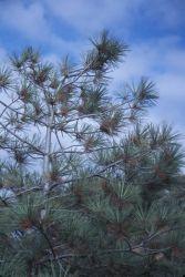 Torrey Pine (Pinus torreyana) Photo