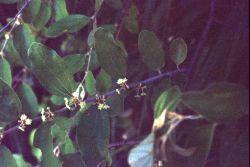 Indian Jujube Flowers (Ziziphus mauritiana lam) Photo