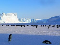 Antarctic Emperor Penguins Photo
