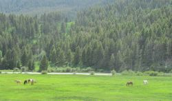 Horses grazing in beautiful pasture along the Madison River Valley. Photo