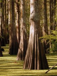 Buttressed Baldcypress (Taxodium distichum) trunks in high water in Long Lake. Photo