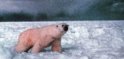 Polar bear - Ursus maritimus - on the ice in the Beaufort Sea. Photo