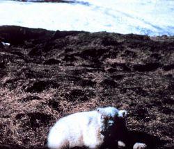 Polar bear - Ursus maritimus - on tundra. Photo