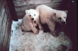 Orphaned polar bear cubs - Ursus maritimus - being sent to zoo. Photo