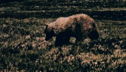 Brown bear (grizzly) - Ursus arctos - on the tundra. Photo