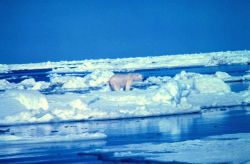 Polar bear - Ursus maritimus - on the Beaufort Sea ice in the summer. Photo