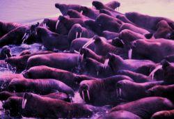 Walrus - Odobenus rosmarus divergens - on Bering Sea island. Photo