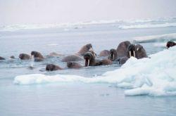 Walrus - Odobenus rosmarus divergens - hauled out on Bering Sea ice. Photo