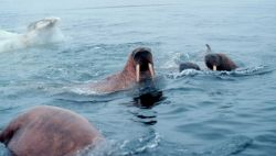 Walrus - Odobenus rosmarus divergens - swimming in the ice floes in the Bering Sea. Photo